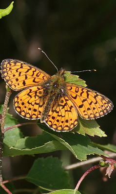 Small Pearl-bordered Fritiallary by David Emley