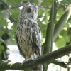 Asio otus Long-eared owl �Darin Smith